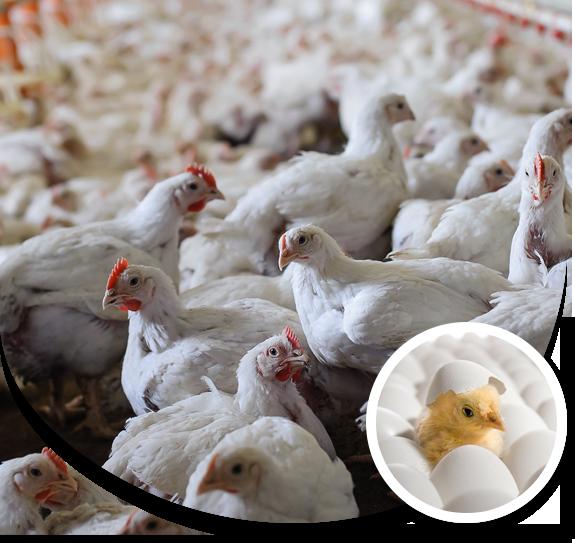 Chicken for sale in Gainesville